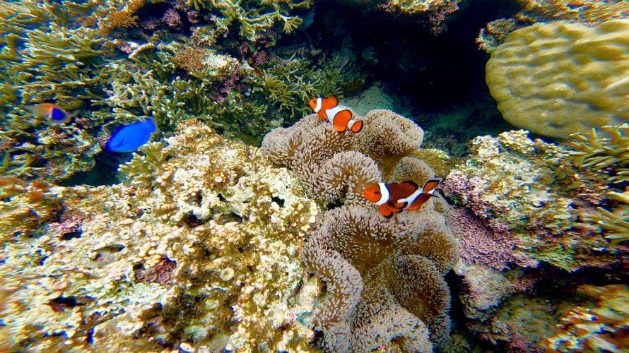 サンゴ礁に住む生き物たち🐠〜クマノミの仲間〜